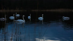 Beautiful sunset or sunrise lake with swans. Stock Footage