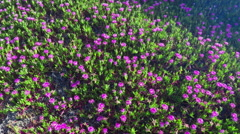 Aerial drone view flying over californian flowers in sand dune in Point Reyes Stock Footage