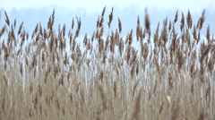 Closeup of old dry reed swaying in the wind - stock footage