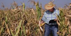 Maize Eco Farm Manager Notebook Verify Corn Field Productivity Farmer Activity - stock footage