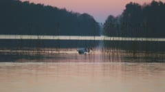 Pair of swans swimming in lake reeds at sunrise Stock Footage