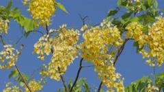 Golden shower tree,Vientiane,Laos Stock Footage