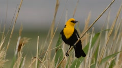 Yellow-headed Black Bird perched Stock Footage