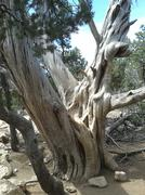 Old Tree Grand Canyon National Park - stock photo