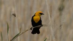 Yellow-headed Black Bird Stock Footage