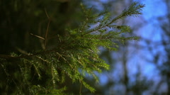 Spruce branch against the blue sky Stock Footage