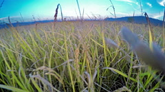 Walking in golden wheat, rice ear in the field, sunset light Stock Footage