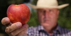 Countryside Farm Worker Shown Close Up Juicy Sweet Whole Flavored Peach Fruit Stock Footage
