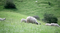 Sheeps on a pasture - stock footage