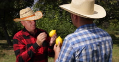 Farmland Job Farm Workers Analyze Citrus Fruit Best Lemons Exotic Vitamins Food Stock Footage