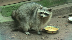 Stock Video Footage of Raccoon licks a plate