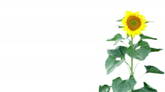 Sunflower on white background Stock Footage