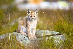 Cute young lynx cub sitting in the grass Stock Photos
