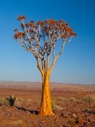 Quiver tree in Namib desert Stock Photos