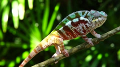 Panther Chameleon Stock Footage
