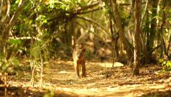 The Fossa hunting Stock Footage