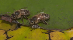 Thirsty Bees on a hot summers day - stock footage