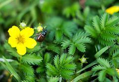 Garden beetle, Phyllopertha horticola Stock Photos
