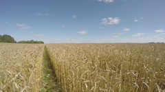 Field of wheat on sunny summer day, time lapse 4K Stock Footage