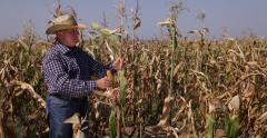 Farmer Check Corncobs Study Plant Maize Harvest Growth Agriculture Industry Stock Footage