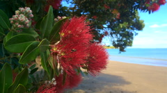 Pohutukawa red flowers blossom on the month of December Stock Footage
