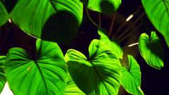 Colocasia leaves with backlit at night showing beautiful texture Stock Footage
