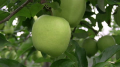 Green apples hanging on the tree Stock Footage