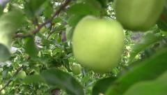 Fresh green apple on tree Stock Footage