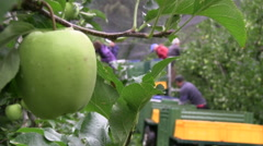 Worker at apple harvest Stock Footage