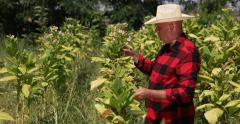 Farmer Working Verify Tobacco Culture Farm Plantation Crops Field Grown Plants Stock Footage