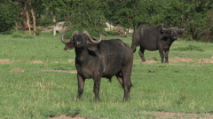 Stock Video Footage of Buffalo male looking at camera
