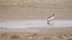 Samll Little Ringed Plover Stock Footage