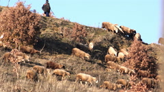 Sheeps migration in autumn at high mountain summit Stock Footage