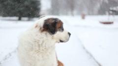 Dog looks over shoulder, video Stock Footage