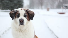 Close up of dog sitting in snow, video Stock Footage