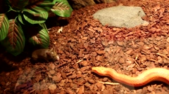 Red / Orange albino Snake eats a white mouse Stock Footage