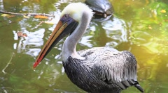 Foreground of a pelican in Costa Rica Stock Footage