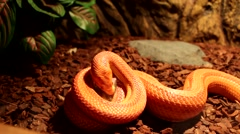 Stock Video Footage of Red / Orange albino Snake eats a white mouse