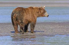 Grizzly Profile on a Mudflat - stock photo