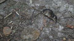 Dead rodent lies on ground Stock Footage