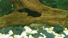 Aquarium Fish Bushymouth catfish (Ancistrus dolichopterus) near bottom Stock Footage