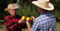 Garden Workers Analyse Beautiful Orange Fruits Countryside Farmland Vegan Food - stock footage