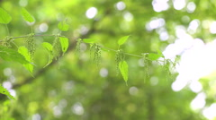 Close up of blooming nettle. Full HD video Stock Footage