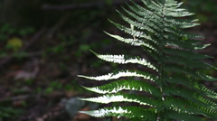 Fern leaf illuminated by sunbeam, fern growing in dark forest. Stock Footage