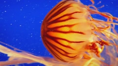 Jellyfish Gracefully Propels Itself In The Ocean - stock footage