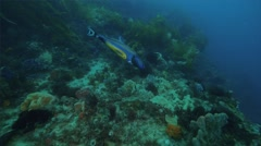 blue fish in Cold Water Corals Temperate  - stock footage