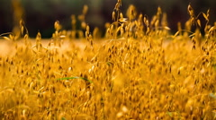 Oat ears moving by wind. RAW video Stock Footage