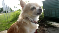 Chihuahua smelling something and sneezes - stock footage