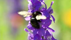 Carpenter Bee Blue Flowers Stock Footage