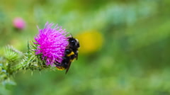 Bumble bees sitting on thistle flower Stock Footage